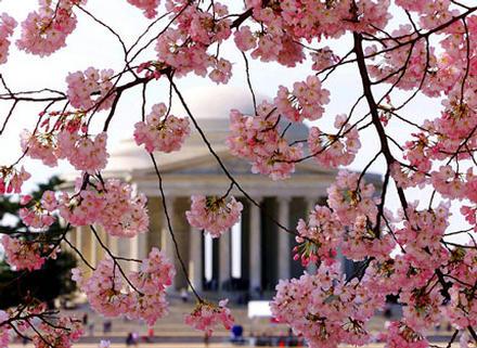 Thomas Jefferson Memorial Through Cherry Blossoms