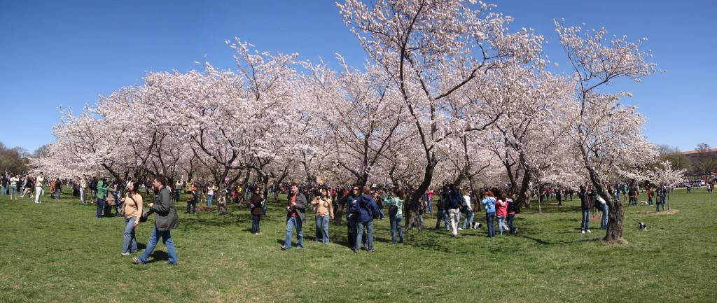 cherry-blossom-trees