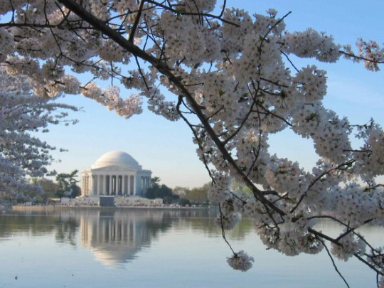 Jefferson Memorial Cherry Blossom Trees